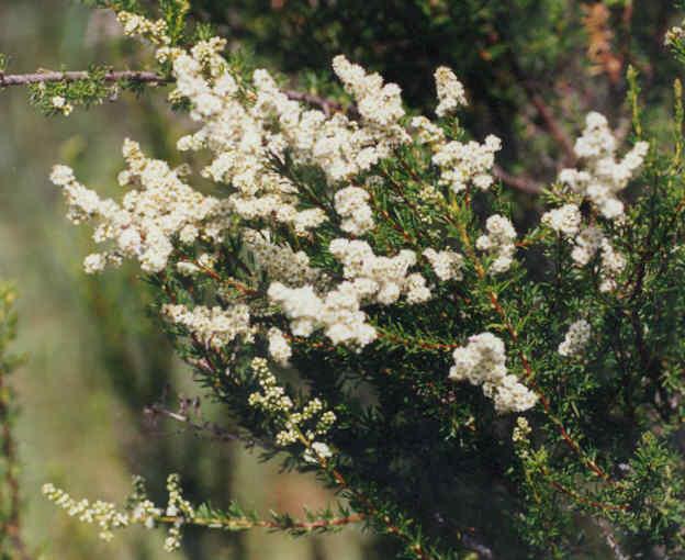 Picture of Adenostoma fasciculatum