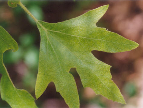 Picture of Platanus racemosa