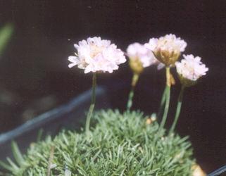 Picture of Armeria sp.