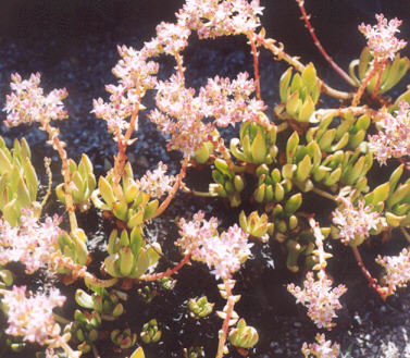 Picture of Dudleya formosa