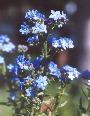 Picture of Anchusa capensis