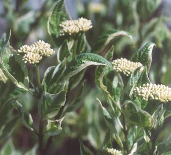 Picture of Cornus alba