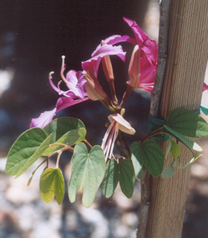 Picture of Bauhinia purpurea