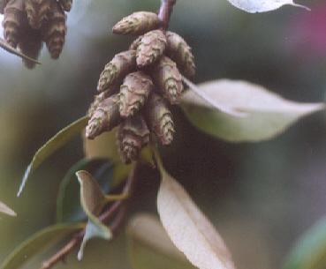 Picture of Castanopsis cuspidata