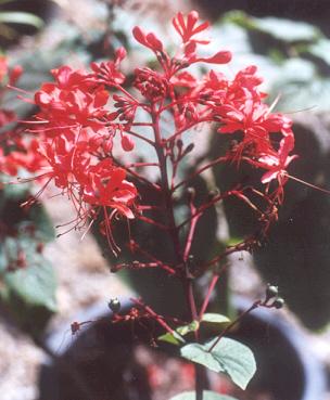 Picture of Clerodendrum speciosissimum