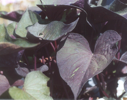 Picture of Ipomoea batatas