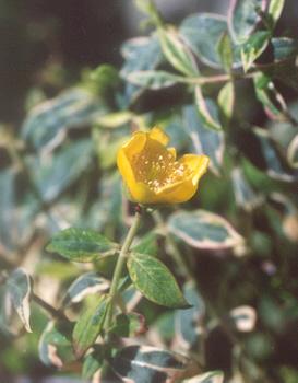 Picture of Hypericum x moserianum