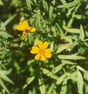Picture of Tagetes lemmonii