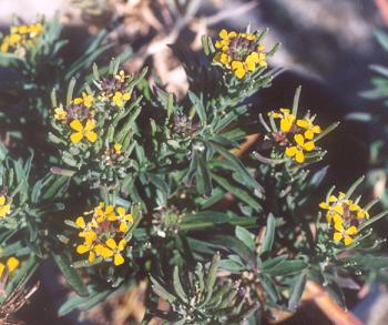 Picture of Aurinia saxatilis