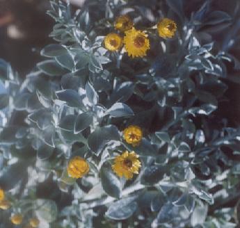 Picture of Helichrysum sargyrophyllum