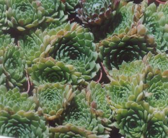 Picture of Sempervivum sobiliferum