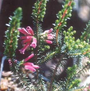 Picture of Erica verticaulis
