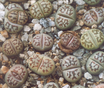 Picture of Lithops dorotheae
