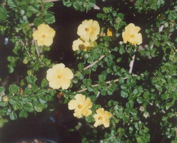 Picture of Pavonia praemorsa