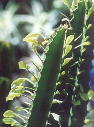 Picture of Euphorbia trigona