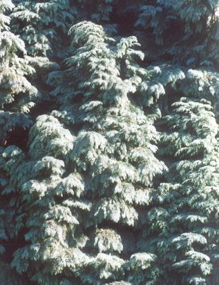 Picture of Chamaecyparis lawsoniana