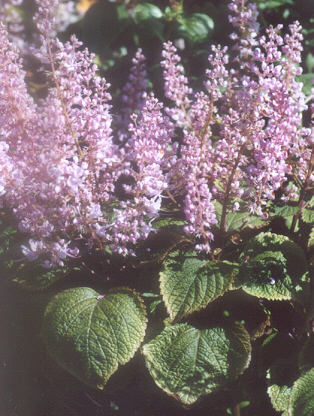 Picture of Plectranthus forsteri