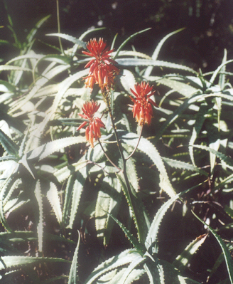 Picture of Aloe ngobitensis