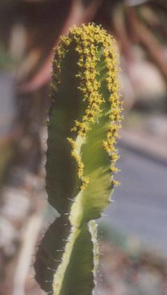 Picture of Euphorbia triangularis