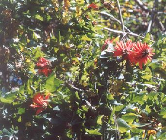 Picture of Erythrina lysistemon