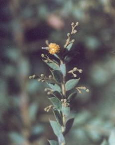 Picture of Acacia vestita