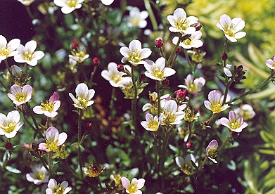 Picture of Saxifraga