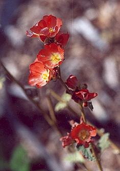 Picture of Abutilon palmeri