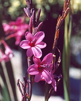 Picture of Watsonia sp.