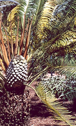 Picture of Lepidozamia peroffskyana
