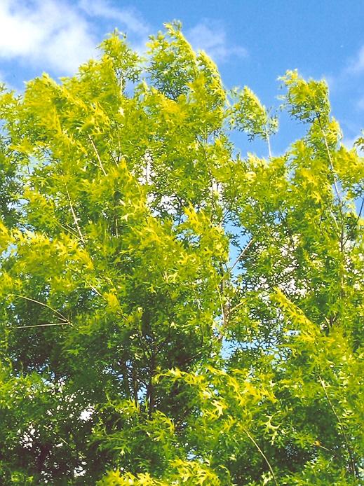 Picture of Quercus coccinea