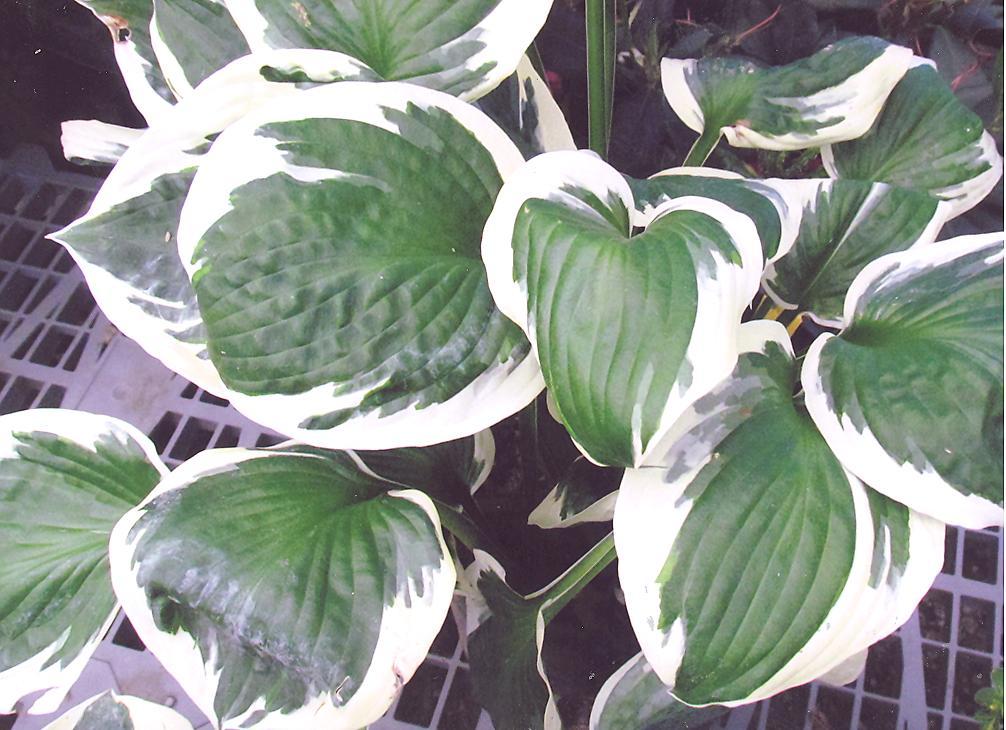 Picture of Hosta x hybrid