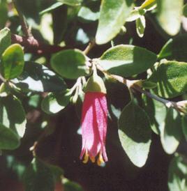 Picture of Correa pulchella