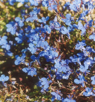 Picture of Lobelia erinus