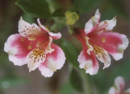 Picture of Alstroemeria aurea