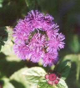 Picture of Ageratum houstonianum
