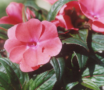 Picture of Impatiens, new guinea hybrid