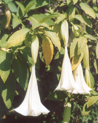 Picture of Brugmansia x insignis