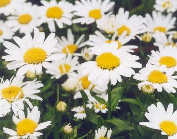 Picture of Chrysanthemum maximum