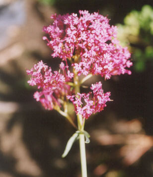 Picture of Centranthus ruber