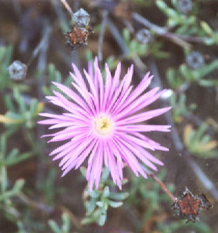 Picture of Drosanthemum hispidum