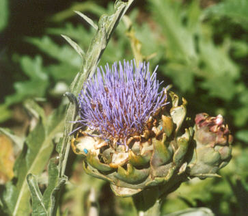 Picture of Cynara scolymus