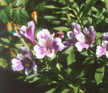 Picture of Alstroemeria pelegrina