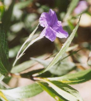 Picture of Ruellia californica