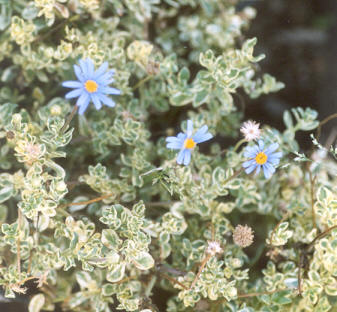 Picture of Felicia amelloides