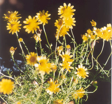 Picture of Thymophylla tenuiloba