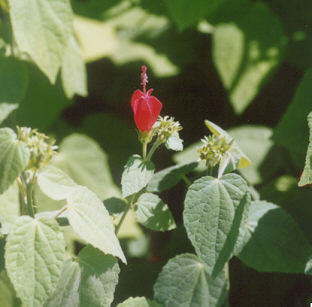 Picture of Abutilon