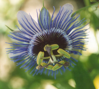 Picture of Passiflora x alatocaerulea