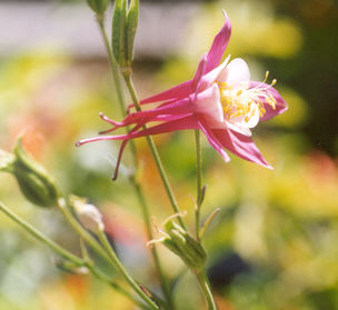 Picture of Aquilegia hybrid