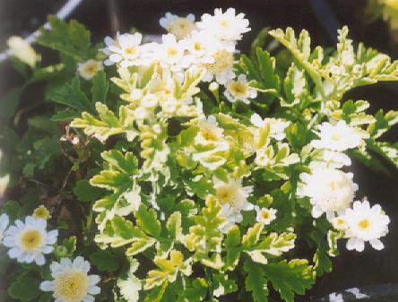 Picture of Chrysanthemum