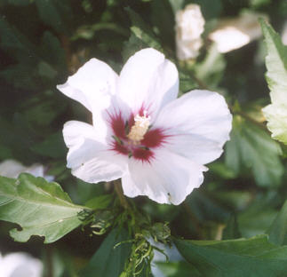 Picture of Hibiscus syriacus